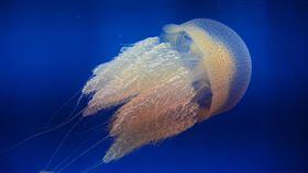 ▲屏東海生館於近日新增一群水母家族成員「端鞭水母」。(圖/國立海洋生物博物館提供)