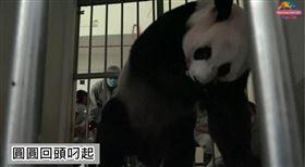 大貓熊「圓圓」產女「幼仔」(圖/翻攝台北市立動物園YouTube頻道)