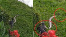 工程師見2公尺巨蟒獵食!結局慘遭2巨蜥「1頭1尾」分食(圖/翻攝自Swen Einhaus臉書)