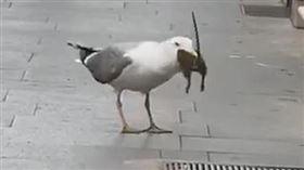 ▲海鷗在羅馬街頭補鼠。(圖/翻攝自推特)