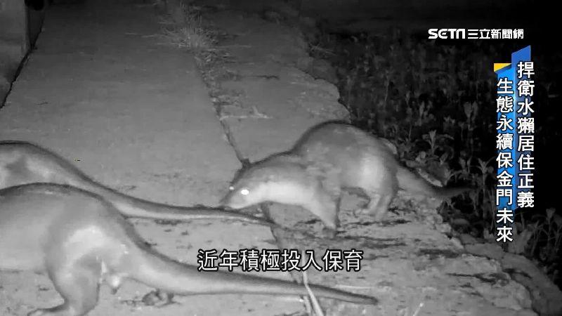 台灣就有野生的!萌水獺台灣全島滅絕 剩金門不到2百隻 | 生活 | 三立