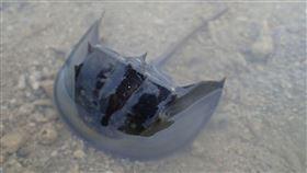台電向海致敬 澎湖放流三棘鱟幼苗(1)台電尖山電廠今年執行「向海致敬」豐育資源活動,1日傍晚結合水試所澎湖海洋生物研究中心在紅羅海域放流500尾三棘鱟。中央社 109年7月1日