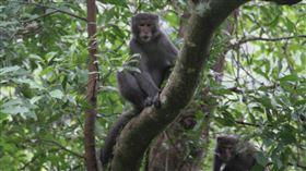台灣獼猴。(圖/羅東林管處提供)