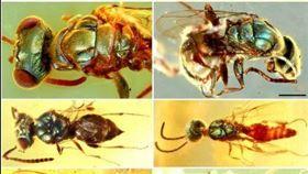 ▲琥珀保留了9900萬年前昆蟲。(圖/翻攝自推特)