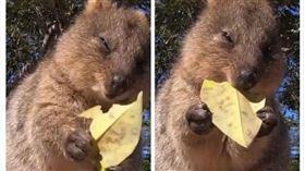 澳洲,袋鼠,樹葉,洋芋片,療癒(圖/翻攝自微博)