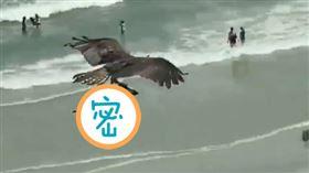 老鷹海邊抓魚!俯衝後升空…腳上多這隻 遊客嚇傻:鯊魚嗎(圖/翻攝自推特)