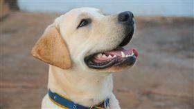 拉布拉多,狗狗(圖/翻攝自Pixabay)