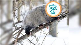 呼吸心跳全停止!世上最會裝死的動物 堪稱動物界「影帝」 負鼠