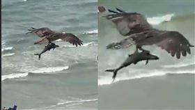鯊魚,海攤,魚鷹,海鰱科,專家,解答