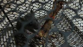 捕鼠籠抓貓(PTT)