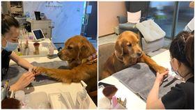 黃金獵犬做美甲,網友授權提供