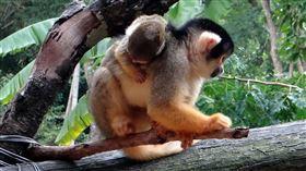 動物園喜事不斷 黑冠松鼠猴添子、貓熊「二寶」成長日記:照「書」養?參考姐姐圓仔的紀錄最安心(圖/台北市立動物園提供)
