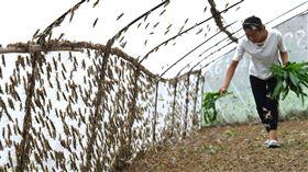 中國爆發大規模蝗蟲災害(圖/翻攝自新華社推特)