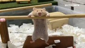 神力倉鼠秀1800