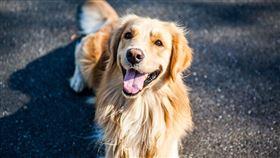 (圖/Pixabay)黃金獵犬,狗狗,金毛