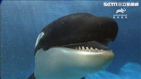 地球上最殘忍、效率高、絕頂聰明的《超神動物:殺手鯨》(圖/動物星球頻道提供)