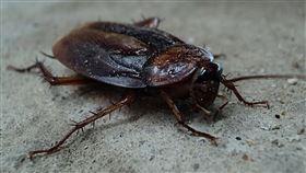 蟑螂(Pixabay)