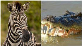 斑馬,鱷魚(圖/翻攝自Pixabay)