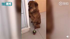寵物,狗,榴槤,道歉,摀嘴(圖/翻攝自秒拍)