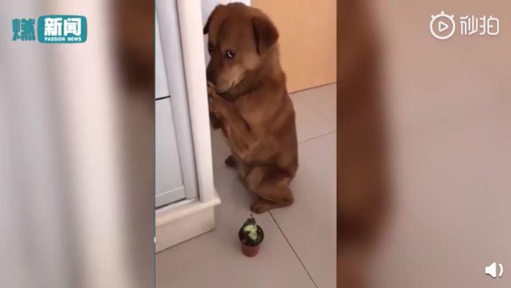 小狗偷咬榴槤挨罵!「摀鼻道歉過程」被錄下…萌翻上萬網友