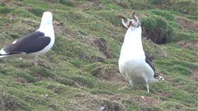海鷗生吞兔子(圖/翻攝自Skomer Island 臉書)