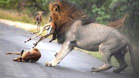 ▲南非雄獅獵捕黑斑羚的驚悚畫面。(圖/翻攝自推特)
