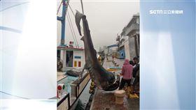 全球不到百尾! 漁船捕獲3.5米長巨口鯊