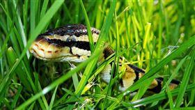 蛇,草叢(圖/翻攝自pixabay)