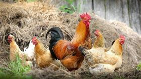 ▲雞,公雞,母雞,雞蛋,養殖,雞農。(圖/翻攝自Pixabay)