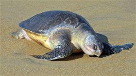 欖蠵龜,海龜。(示意圖/翻攝自維基百科)