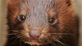 西班牙地方官員16日表示,當局已經下令撲殺東北部一座農場內近10萬隻水貂,因為牠們之中許多身上都帶有冠狀病毒。(示意圖/圖取自Pixabay圖庫)