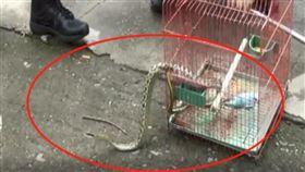 蛇吃鸚鵡(圖/翻攝自都市現場)