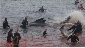 鯨魚被趕至海灣後,遭到獵捕者狠刺ㄡ(圖/翻攝自Blue Planet Society臉書)