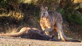 袋鼠媽育兒袋裝6月大寶寶…慘遭車撞死 爸心碎撫屍網淚崩 圖翻攝自Australian Society for Kangaroos臉書https://www.facebook.com/AustralianSocietyKangaroos/photos/a.181264425246582/3336789363027390/?type=3&theater