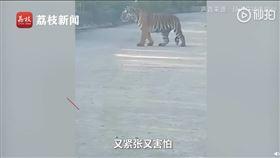 中國,吉林,山路,老虎,司機(圖/翻攝自秒拍)