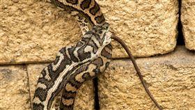 蟒蛇。(圖/Pixabay)