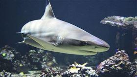 鯊魚,自然,暗礁,海域,滅絕,東京(圖/翻攝自Pixabay)