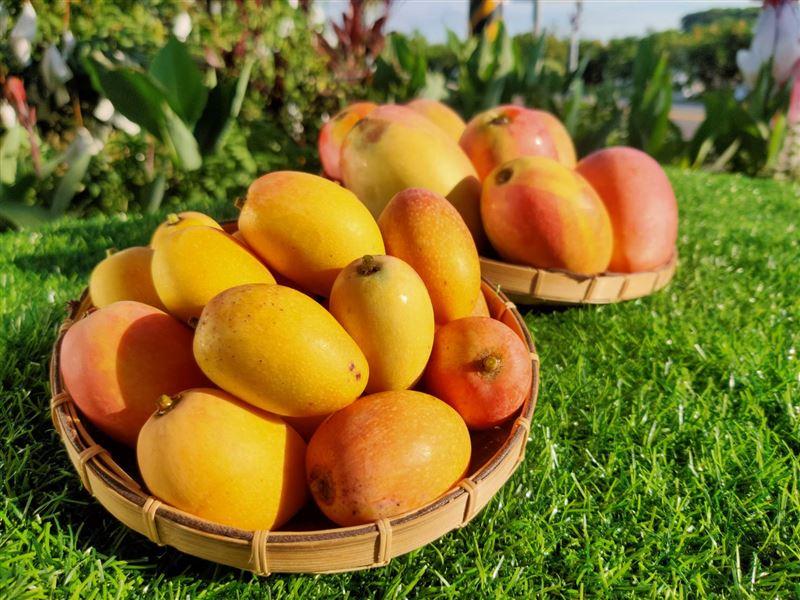 用熱水燙芒果更好吃?台灣之光在嘉義!