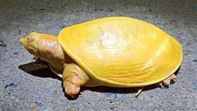 印度黃金色烏龜。(翻攝自印度森林局官員的推特)