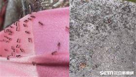 彰化竄「疣胸琉璃蟻」/彰化市民代表韓德生授權提供