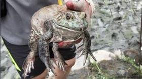 田邊抓到「巨大牛蛙」!網一看秒搖頭…牠最後結局超悲慘(圖/翻攝自PTT)