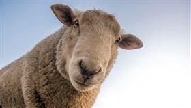 綿羊Pixabay