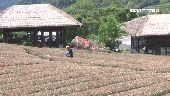 農遊券這樣玩 28間亮點茶莊一日遊