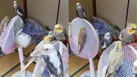 寵物,鸚鵡,電風扇,乘涼,避暑,日本(圖/翻攝自推特)