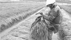 宜蘭、三星蔥、農民、農夫、農損、災害、種田(圖/資料照)