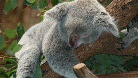 澳洲,無尾熊,袋鼠,動物,森林,大火(圖/翻攝自Pixabay)