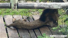 壽山動物園,雄獅,消瘦,獅子(許小姐授權提供)