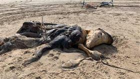 英國海邊詭異生物(圖/翻攝自Ainsdale臉書)