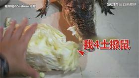 ▲邦比看土撥鼠吃菜也跟著咬一口菜梗。(圖/鱷鄰居&Sashimi 授權)
