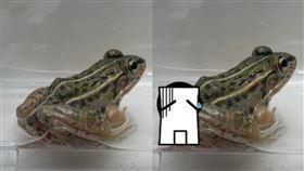 水生甲蟲,青蛙,腸胃,逃脫,肛門